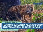 harimau-sumatera-danau-putra-dilepasliarkan-usai-terjebak-perangkap-warga-di-aceh-tenggara.jpg