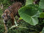 harimau-sumatera-di-kebun-binatang-washington.jpg