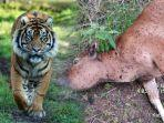 harimau-sumatera-mangsa-sapi-warga-aceh-utara.jpg