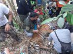 harimau-sumatera-terjerat-di-perkebunan-masyarakat-di-gampong-gulo-kecamatan-darul-hasanah.jpg