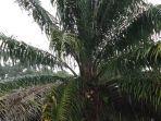hujan-mengguyur-pohon-sawit-di-wilayah-singkil-utara.jpg