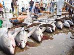 ikan-hiu-korea-atau-rubah-laut-alopias-vulpinus-dijual.jpg