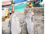 ikan-layaran-hasil-tangkapan-nelayan-aceh.jpg