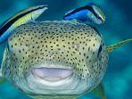 ikan-wrasse-yang-dikenal-juga-sebagai-ikan-dokter_20180902_172839.jpg