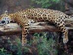 jaguar-terancam-punah.jpg
