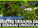 kalbar-kembangkan-dua-varietas-anggur-asal-ukraina-dan-as-sebagai-komoditas-unggulan.jpg