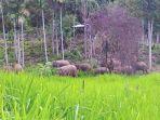 kawanan-gajah-liar-berkeliaran-di-areal-blang-meukik_20170124_144703.jpg