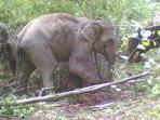 kawanan-gajah-liar-sedang-merusak_20151130_094131.jpg
