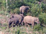kawanan-gajah-sumatra-elephas-maximus-sumatranus.jpg