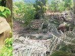 kawasan-gajah-menggasak-tanaman-petani-pantin-limeng.jpg
