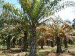 kebun-kelapa-sawait-di-kabupaten-aceh-singkil-sedang-musim-trek.jpg