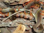 lipan-memakan-ular_20171027_225104.jpg