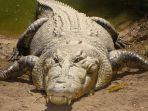 lustrasi-buaya-muara-crocodylus-porosus.jpg