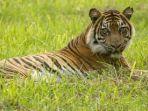 mekar-seekor-harimau-sumatra-yang-dilepasliarkan-di-pusat-rehabilitasi-harimau_20180927_204335.jpg