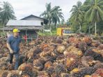 melihat-tumpukan-tbs-kelapa-sawit_20180627_085158.jpg