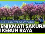 menikmati-bunga-sakura-di-kebun-raya-brooklyn-new-york.jpg