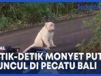 monyet-putih-muncul-di-pecatu-bali.jpg