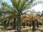 musim-trek-kelapa-sawit-harga-tinggi-produksi-menurun.jpg