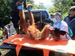 orangutan-dievakuasi_20180807_121113.jpg