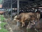 pasar-hewan-sibreh-jelang-meugang-1442-hijriah.jpg