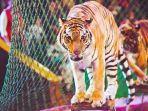 pawang-tewas-diterkam-harimau-sirkus-di-italia.jpg