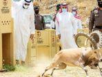 pelepasan-kambing-gunung-di-arab-saudi.jpg