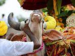 pemakaman-sapi-di-india-dihadiri-ribuan-orang.jpg