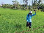 petani-di-gampong-puuk-kecamatan-delima-pidie-menyemprot-hama.jpg