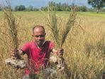 petani-menunjukan-tanaman-padi-berumur-sekitar-du.jpg