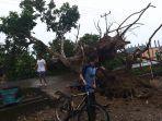 pohon-mangga-ukuran-besar-tumbang.jpg