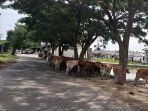 sapi-berkeliaran-di-jalan-aceh-besar_2021.jpg