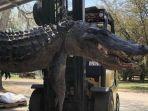seekor-aligator-alias-buaya-sepanjang-36-meter-ditangkap-di-carolina-selatan-amerika-serikat.jpg