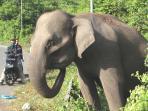 seekor-gajah-sumatera-elephas-maximus_20151003_085949.jpg