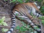 seekor-harimau-sumatera-mati-di-perkebunan-di-aceh-selatan.jpg