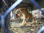 seekor-harimau-sumatera-panthera-tigris-sumatrae-masuk-perangkap-di-subulussalam.jpg