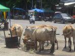 sejumlah-ekor-sapi-mencari-makan-tanpa-ada-gangguan-dari-petugas.jpg