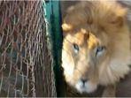 singa-terkam-petugas-kebun-binatang_20180319_224518.jpg