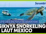 snorkeling-di-laut-meksiko-melihat-spesies-penyu-terbanyak-di-dunia.jpg
