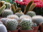 tanaman-hias-kaktus.jpg