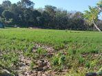 tanaman-padi-di-desa-tuwi-meulesong-kecamatan-seunagan-timur-nagan-raya-ikut-dirusak-gajah.jpg