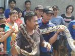 temuan-ular-piton-di-kota-tangerang-minggu-2612020.jpg