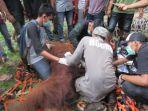 tim-gabungan-saat-mengevakuasi-orangutan-sumatera-pongo-abelii.jpg