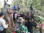 translokasi-pemindahan-satu-ekor-gajah-liar-di-bener-meriah.jpg