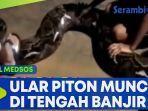 ular-piton-besar-muncul-di-tengah-banjir-malaysia.jpg