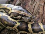 ular-piton-burma.jpg