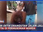 VIDEO Detik-detik Orangutan 'Jalan jalan' Santai di Permukiman Warga thumbnail