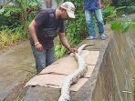 warga-kawasan-ahuru-kecamatan-sirimau-ambon-memangkap-seekor-ular-piton.jpg