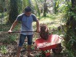 warga-memanen-kelapa-sawit-di-kawasan-gosong-telaga-barat-singkil-utara.jpg