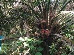 warga-panen-kelapa-sawit-di-kawasan-gosong-telaga-barat-singkil-utara-aceh-singkil-96882021.jpg