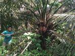 warga-panen-kelapa-sawit-di-kawasan-gosong-telaga-barat-singkil-utara-aceh-singkil.jpg